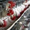 Esta semana se distribuyen primeras dosis de vacuna vs gripe aviar