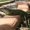 Más de 1600 Iguanas Podrán Eclosionar