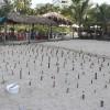 El gobierno municipal ha colectado 223 nidos de tortuga marina
