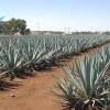 Jalisco será sede del encuentro del Sistema Producto Nacional agave-tequila