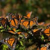 Illegal logging in Mexico's Monarch butterfly reserve falls 40%