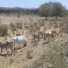 Sequía provoca estragos en la ganadería de la Costa Norte